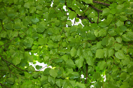 Bottom up view on linden  Tilia cordata  tree crown photo