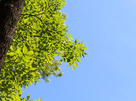 Vista desde abajo en fresno Fraxinus sobre fondo de cielo azul en día soleado de primavera
