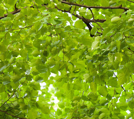 View from below on basswood  Tilia cordata  foliage backlighted by sun photo