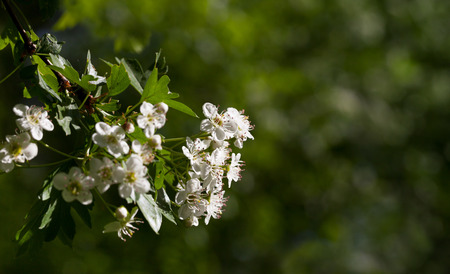 Closeup of whitethorn (Crataegus monogyna) flower over blur green garden background  photo
