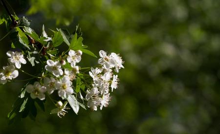 crata�gus: Primer plano de espino blanco (Crataegus monogyna) de flores m�s de desenfoque de fondo verde del jard�n