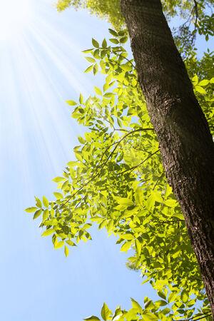 ash tree: Sole e raggi del sole su un albero di frassino (Fraxinus) in estate Archivio Fotografico