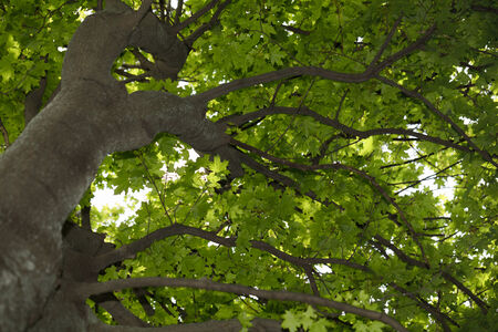 View from below on maple tree crown