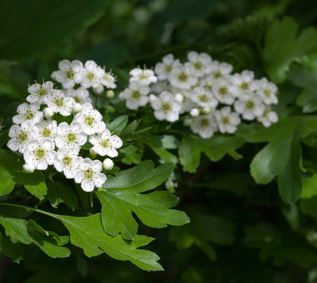 florescence: Closeup of motherdie (Crataegus monogyna) brunch florescence over green leaves background