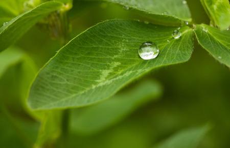 trifolium: Macro of dew drop on clover (Trifolium) leaf