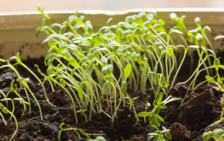 Macro of small tomato plantlets stretched for light Stock fotó - 28604270