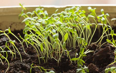 Macro of small tomato plantlets stretched for light Reklamní fotografie - 28604270