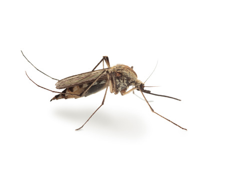 Macro of mosquito side view isolated on white  photo