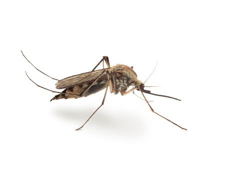 Macro van mosquito zijaanzicht op wit wordt geïsoleerd