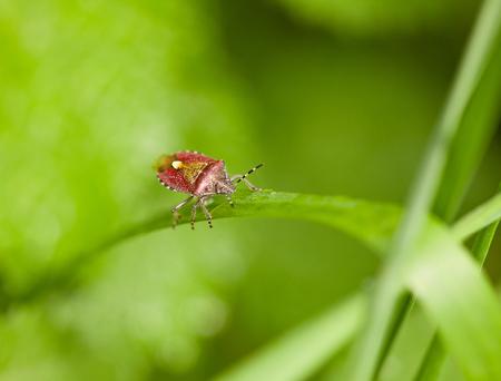 Macro of pest bug  Dolycoris baccarum  climbing on grass leaf photo