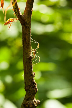 Macro of harvestman  Opilio sp   over sunny forest background