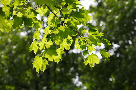 aceraceae: Maple brunch with fresh foliage in morning sun beams over blurry forest background Stock Photo