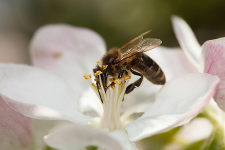 apis: Macro of honeybee  Apis mellifera  feeding on apple flower