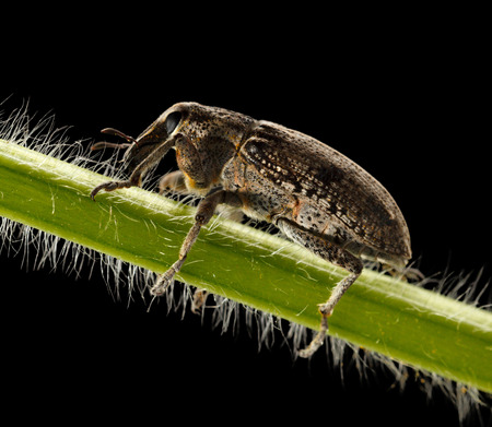 curculionidae: Macro portrait of snout beetle  Curculionidae  isolated over black background Stock Photo