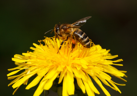 Macro of honey bee  Apis mellifera  feeding on dandelions flower  Taraxacum officinale  photo