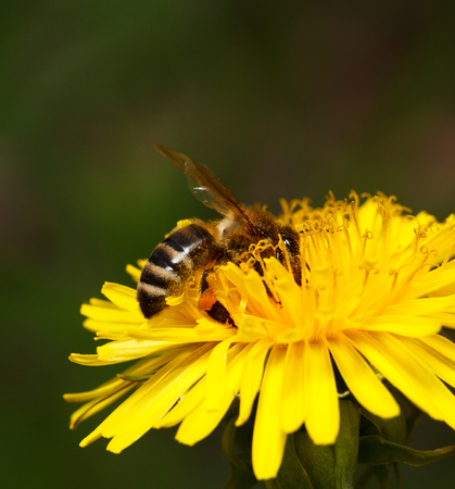 Macro of honeybee  Apis mellifera  drinking nectar on dandelions flower  Taraxacum officinale  photo