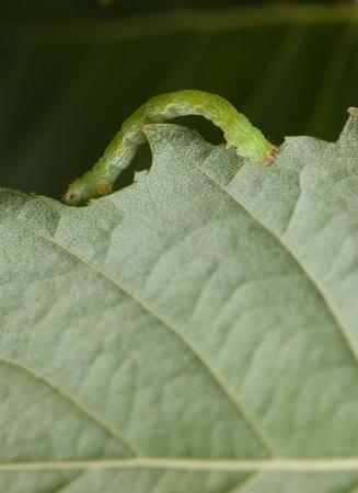 Macro of measuring worm crawling on birch leaf photo