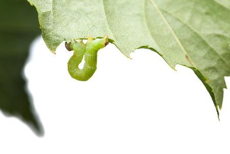 Macro of inchworm hanging under birch leaf photo