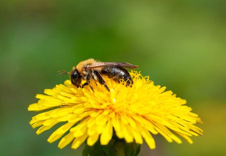 Macro of worker bee  Apis mellifera  pollen dandelions flower  Taraxacum officinale   photo