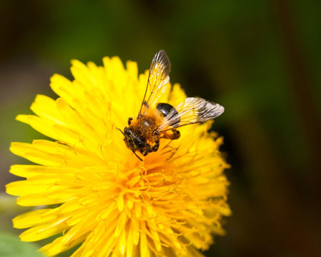 Macro of bee  Apis mellifera  pollen dandelions flower  Taraxacum officinale  photo