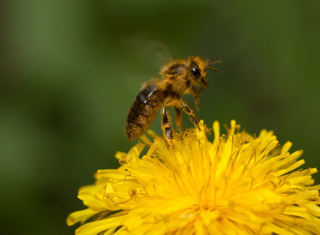 apis: Macro of fly bee  Apis mellifera  landing on dandelions flower  Taraxacum officinale