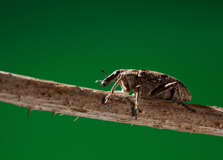 curculionidae: Macro portrait of snout beetle  Curculionidae  sitting on twig over green background  Stock Photo