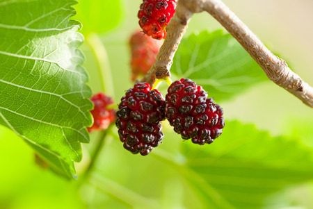 Close-up of mulberry fruits  Morus nigra, Moraceae