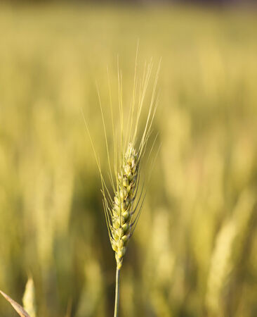Macro of ripe rye ear over cereal field background out of focus photo