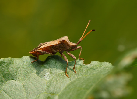 squash bug: Macro of Dock bug  Coreus marginatus  on Rumex leaf  side low angle view  Stock Photo