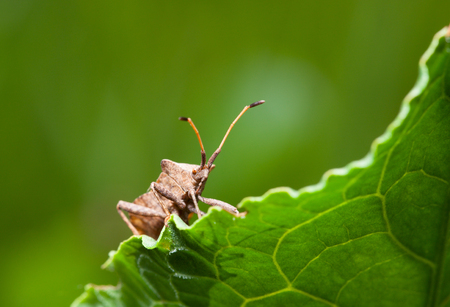 squash bug: Macro of Dock bug  Coreus marginatus  on Rumex leaf low angle view