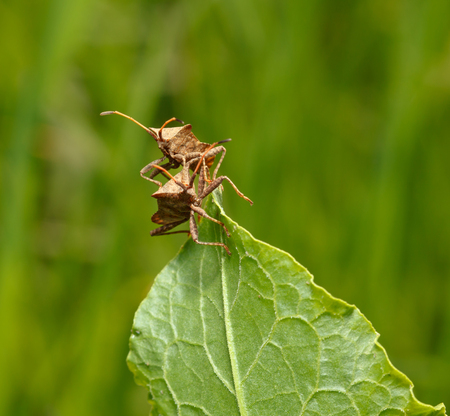 squash bug: Macro of two Dock bug  Coreus marginatus  on Rumex leaf over meadow background