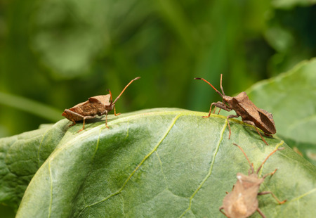 squash bug: Macro of Dock bugs  Coreus marginatus  stinging sorrel  Rumex  leaf on meadow Stock Photo
