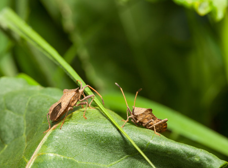 squash bug: Macro low angle view of two  Squash bugs  Coreus marginatus  on sorrel leaf  Stock Photo