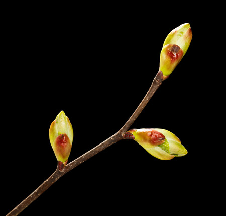 unfold: Macro of tree twig with ready to open leaves buds isolated over black
