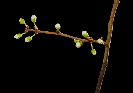 Macro of apricot blooming twig over black background photo