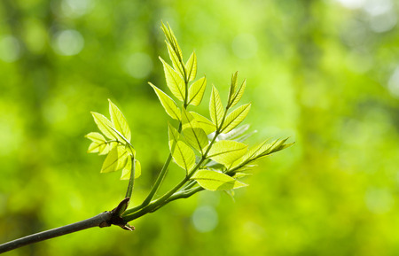 ash tree: Close-up of ash tree (Fraxinus) new twig with compound leaves over spring forest light background Stock Photo