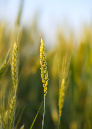 Macro of ripe wheat ear over cereal field background photo