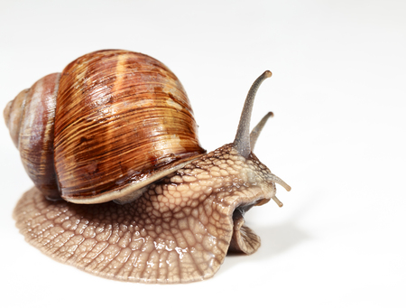 slithery: Close-up of edible snail (Helix pomatia) over white background