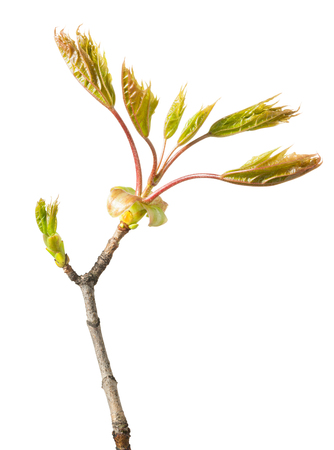Macro of maple new unfold bud and fresh leaves on one twig isolated over white photo