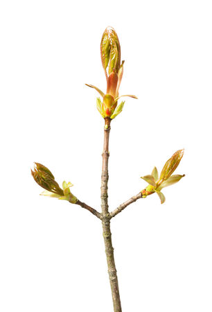 Macro of maple twig with new red leaves in open buds isolated over white photo