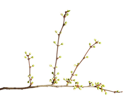 fruit tree: Fruit tree brunch with flower buds isolated on white background