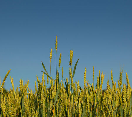 Close-up of wheat ears on farmland over blue sky background photo