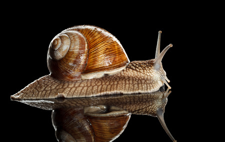 slithery: Close-up low angle view of Roman snail (Helix pomatia) on black reflective background
