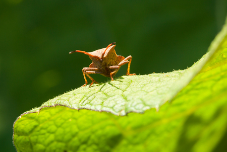 squash bug: Macro of Dock bug (Coreus marginatus) on sorrel (Rumex) leaf Stock Photo