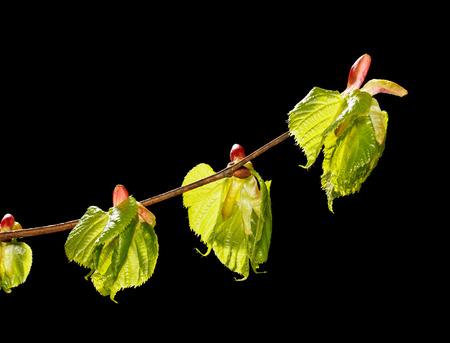tilia: Macro of linden (Tilia sp.) new unfold leaves-buds isolated on black
