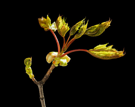 Macro of maple new unfold bud and fresh leaves on one twig isolated over black photo