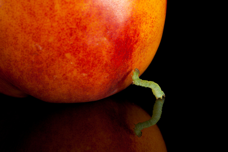 inchworm: Macro of inchworm and ripe peach isolated on black Stock Photo