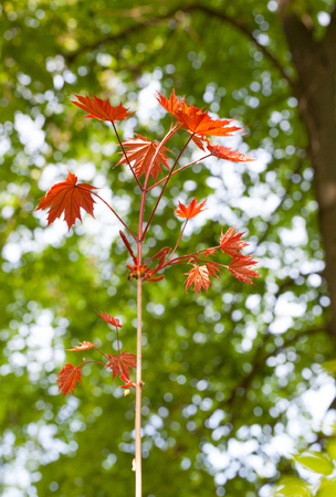 aceraceae: Close-up of new maple tree with red leaves over old maple tree background