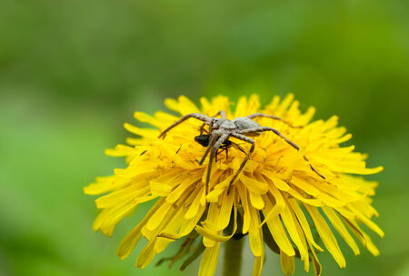 eight legged: Macro of spider and its prey on dandelion flower over meadow background