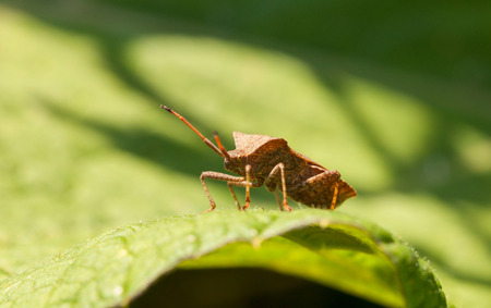 squash bug: Macro of Dock bug (Coreus marginatus) on Rumex leaf at sunny day Stock Photo